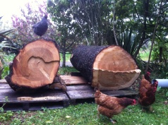Himalayan Cedar logs