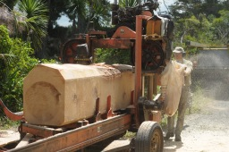 Milling Norfolk pine